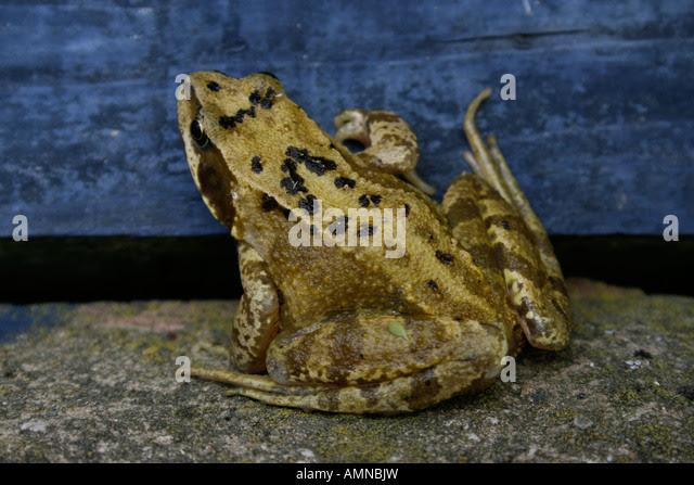 Image result for garden frog uk