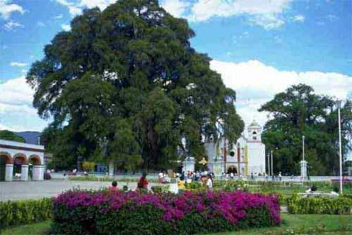 El Arbol De Sta Maria Del Tule Oaxaca México