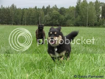 Kämppäkaveri Sandohm ja Helka(25 vko) juoksemassa koulun pellolla