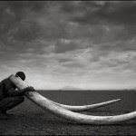Ranger with Tusks of Killed Elephant, Amboseli