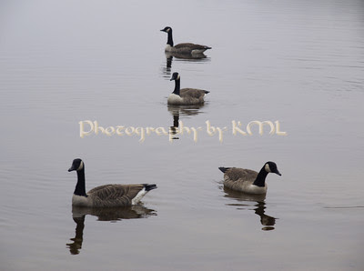 for canada geese on the lake in the fog
