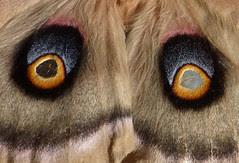 polyphemus eye spots