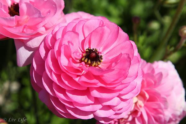 Pink Ranunculus, Carlsbad Flower Fields