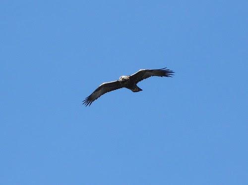 21744 - Golden Eagle on Mull