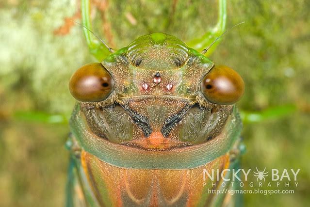 Cicada (Cicadidae) - DSC_7315
