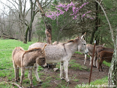 Redbuds are blooming in Donkeyland