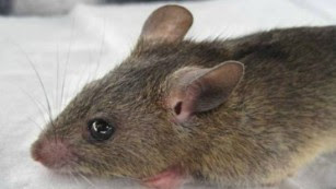 Lassa fever death rates in Nigeria higher than expected