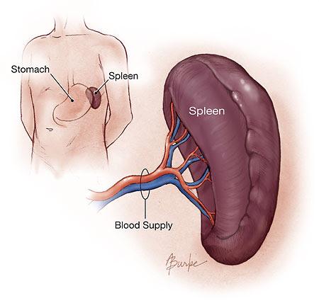 http://www.whydoes.org/wp-content/uploads/2009/09/Spleen.jpg