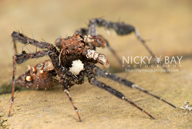 Jumping Spider (Portia sp.) - DSC_6097
