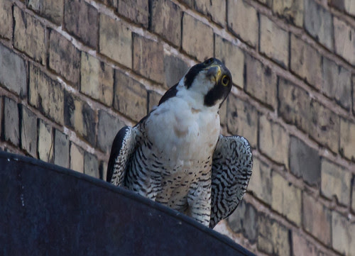 """Jenna"" the Peregrine Falcon mother"