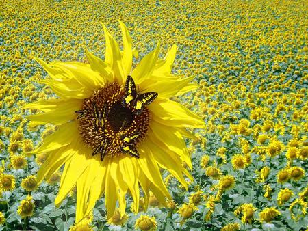 sunflower butterflies - 3D and CG & Abstract Background ...