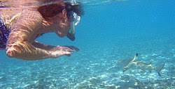 Snorkeler with blacktip reef shark. In rare circumstances involving poor visibility, blacktips may bite a human, mistaking it for prey. Under normal conditions they are harmless and shy.