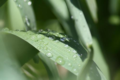 20090428_rainy_leaves_0008