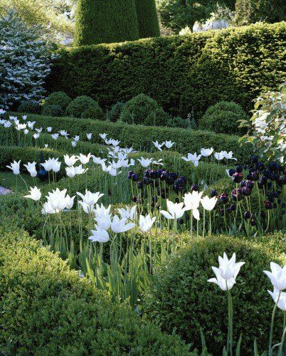 Tulipa 'White Triumphator' and tulipa 'Queen of Night.' Probably too much contrast and the greenery almost absorbs the 'Queen of Night' tulips. But the white is great with the greenery.