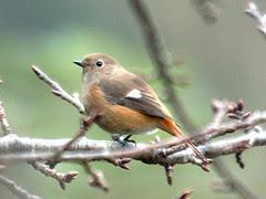 ジョウビタキのメス Daurian Redstart
