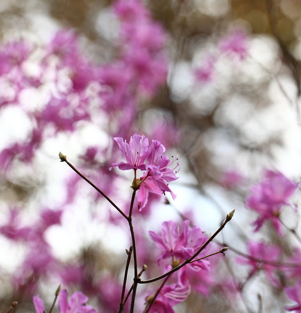 Azalea / Rhododendron dilatatum / 三葉躑躅(ミツバツツジ)