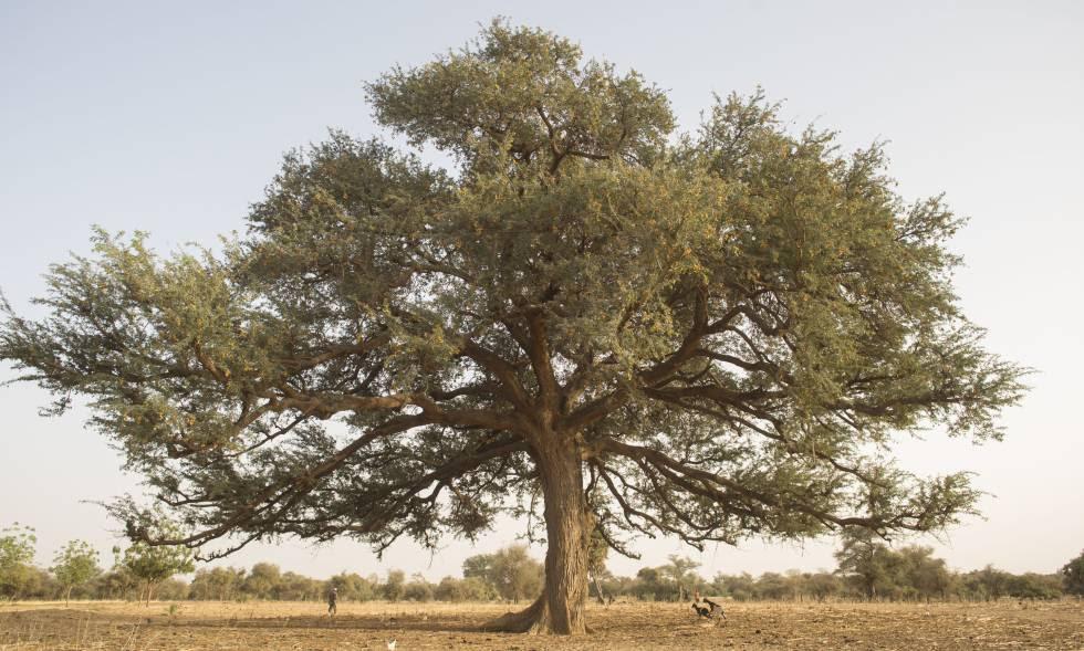 Un árbol sobre tierra árida en Níger.