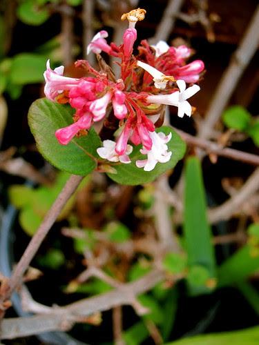 Virburnum - winter garden