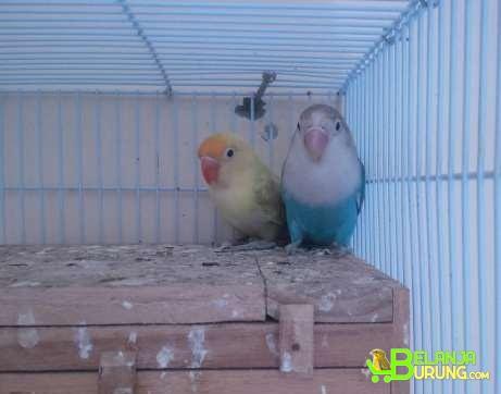 Unduh 44  Gambar Burung Lovebird Pb Pastel  Paling Bagus Free