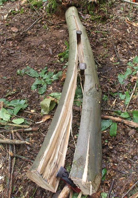DSC_7046 splitting sweet chestnut