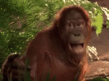 monyet ketawa gif monkey orangutan descubre comparte