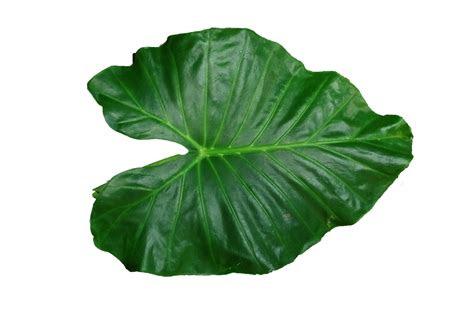 leaf hq png image freepngimg
