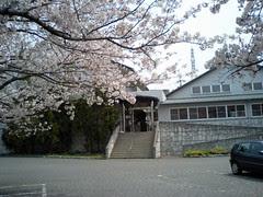 権現温泉の桜