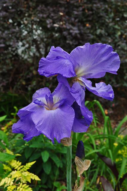 Iris x 'Impersonator'