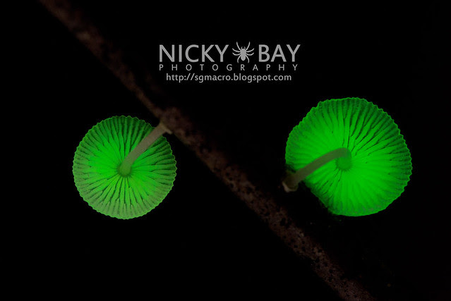 Bioluminescent Fungi (Mycena illuminans?) - DSC_7986