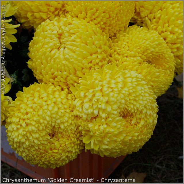 Chrysanthemum 'Golden Creamist' - Chryzantema 'Golden Creamist'