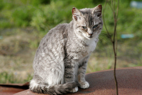 Young Silver Tabby Today