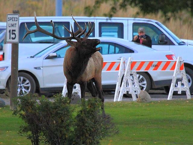 IMG_0139 Bull Elk Bugling, Mammoth Hot Springs