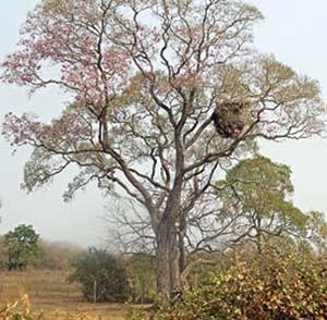 Un nido de esa especie en un árbol nativo de su área natural de dispersión fuera de la llanura pampeana.