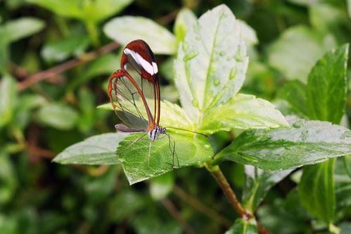 vlinder hortus botanicus