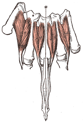dorsal interossei