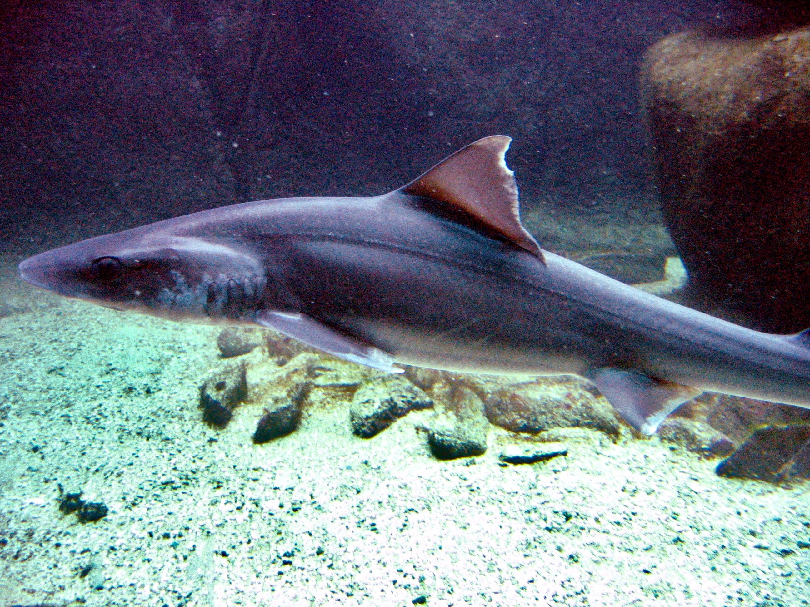Weißgefleckter Glatthai - Mustelus asterias