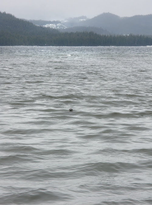 a seal on the surface of Kasaan Bay, Alaska