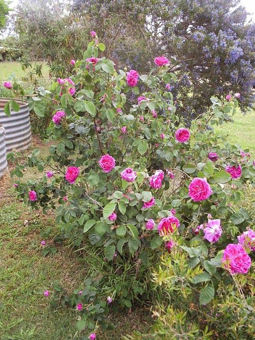 Benambra rose