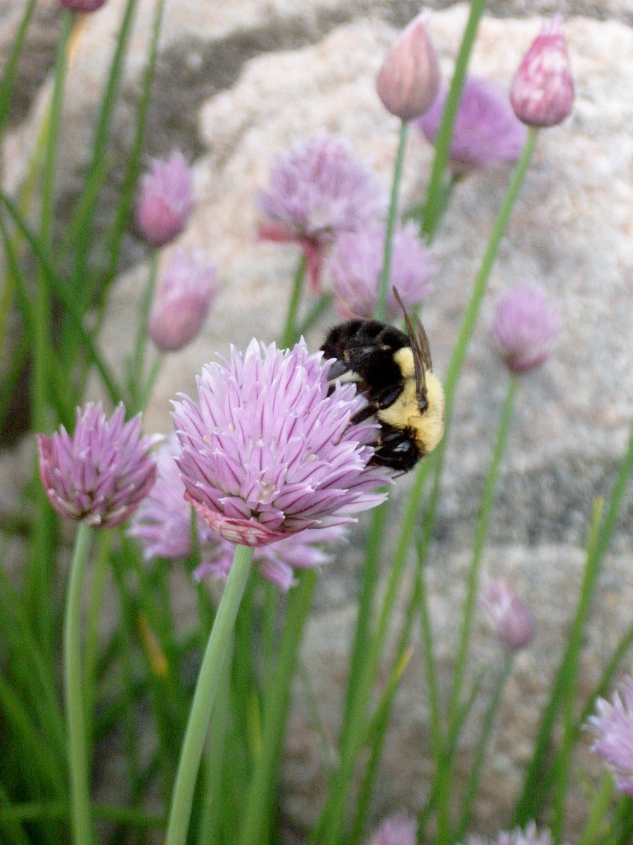Photo by dewlittle at sxc.hu. Chive flowers encourage bees to visit your garden.