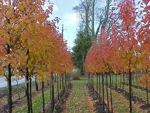 Tree Profile For The Flowering Pear Urban Forest Nursery Inc