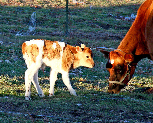 Button and our beautiful new little Bull!