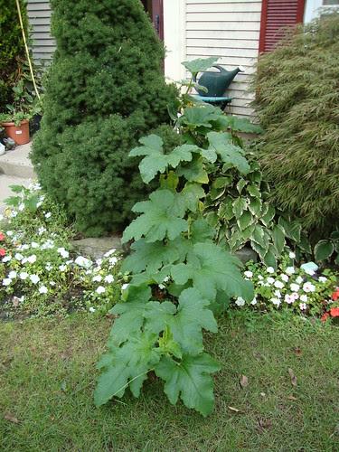 the pumpkin plant