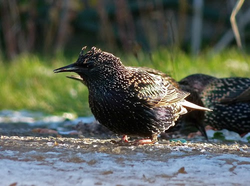 23716 - Starling, Pontarddulais