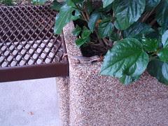 planter lizard (2)
