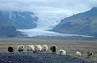 Icelandic sheep in front of a glacier