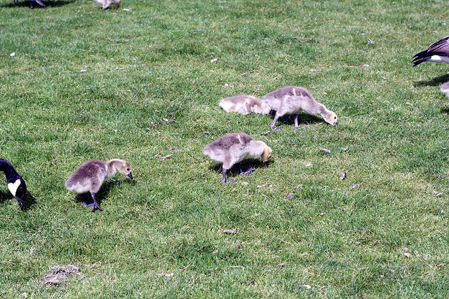 goslings, waterfront park, may '09