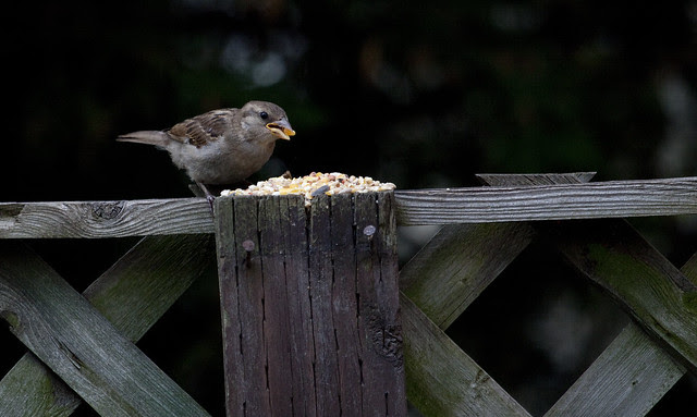 sparrow with corn