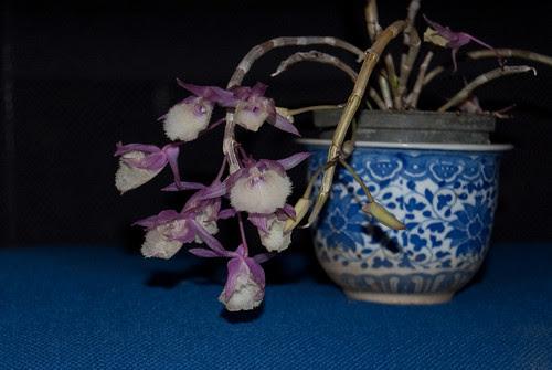 Dendrobium bohemian rhapsody by Itajai de Albuquerque