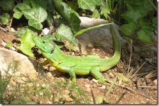 Lizard - Roski Slap