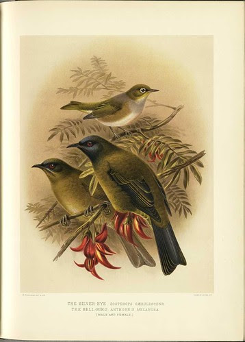 The Silver-Eye - Zosterops caerulescens + The Bell-Bird - Anthonis melanura (m + f)